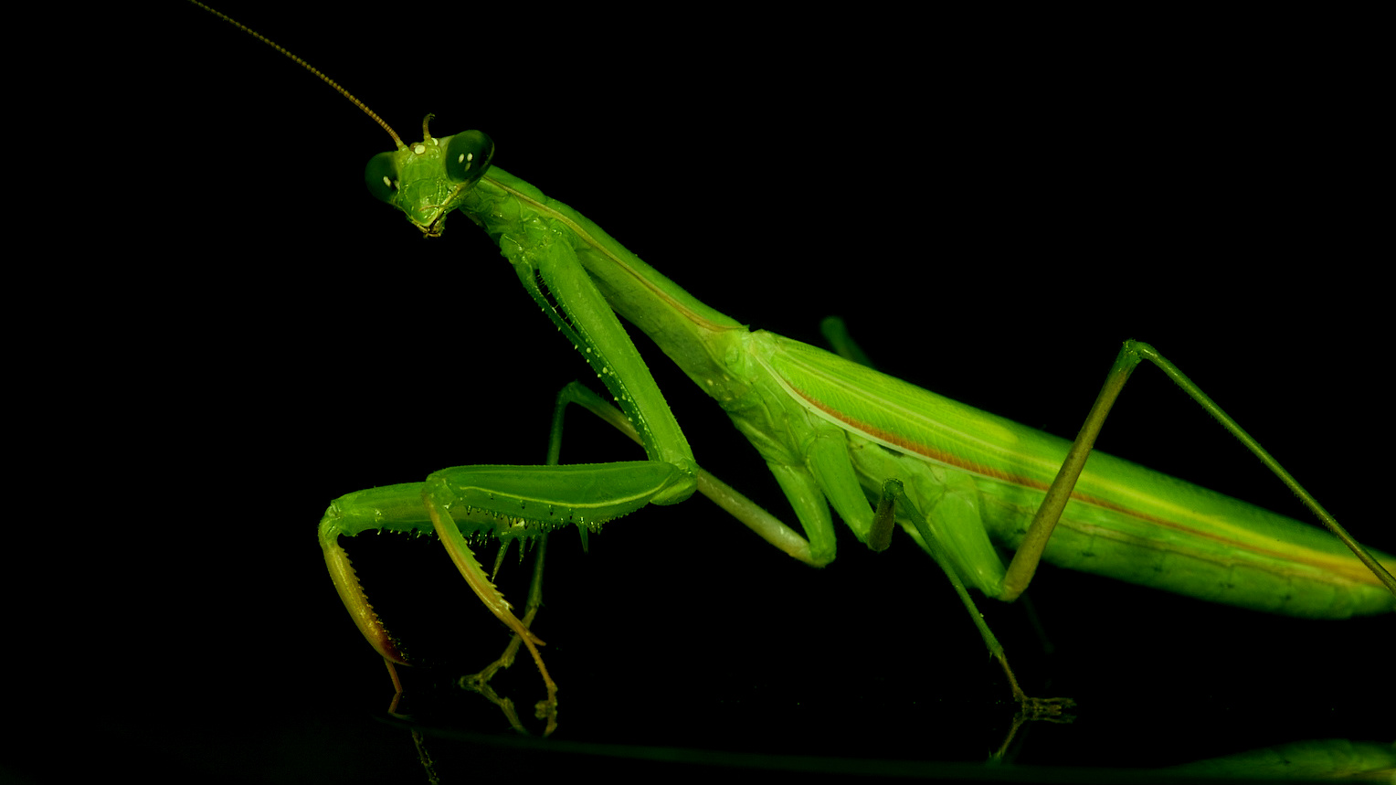 the praying mantis The praying mantis (mantis religiosa), so called because it keeps its front legs joined together when at rest, is a member of the large mantidae insect family that contains hundreds of other.