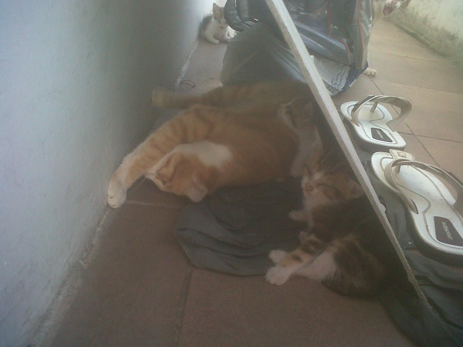 My Cats Keluarga Belang Dan Orange