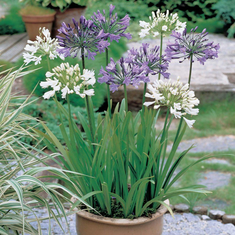 Potted flowers: alokaziya. Description, photos, care recommendations 25