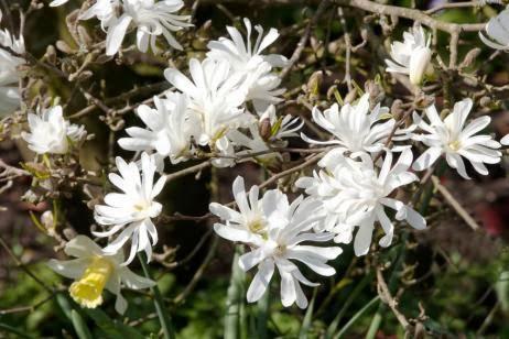 Un jard n fragante - Magnolia planta cuidados ...