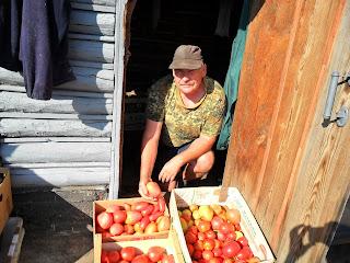 Урожай помидоров 1