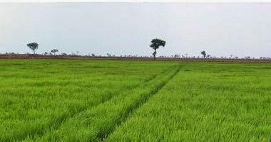 الحكومة تقرر شراء الأرز بـ2050جنيها للطن و1600 جنيه للقطن
