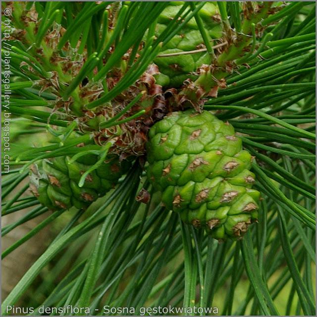 Pinus densiflora cones - Sosna gęstokwiatowa szyszka