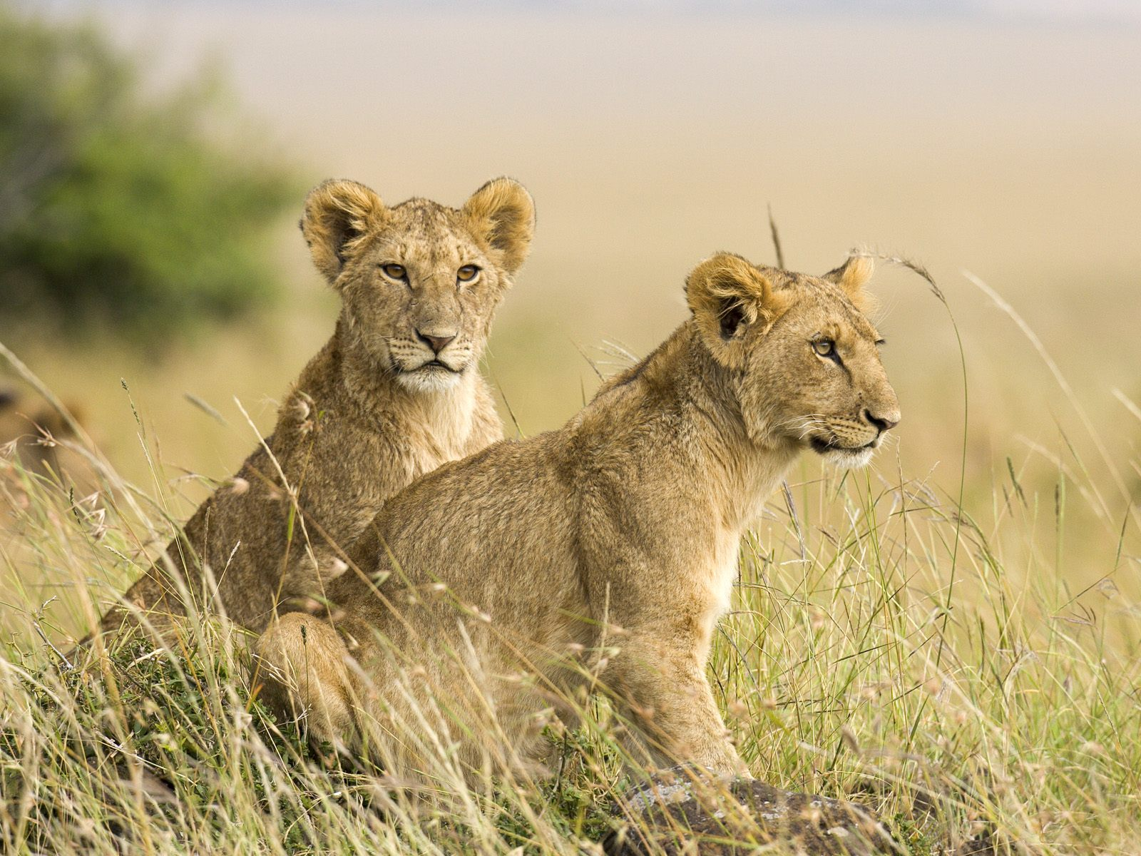 masai mara Trusted expert national reserve guide on masai mara in south-western kenya - east africa also, check out safari trip prices and tours for honeymooners, families and independent travelers, guest reviews, videos, maps and many more tour options.