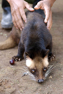 Top 5 Most Expensive Drinks In The World kopi luwak coffee