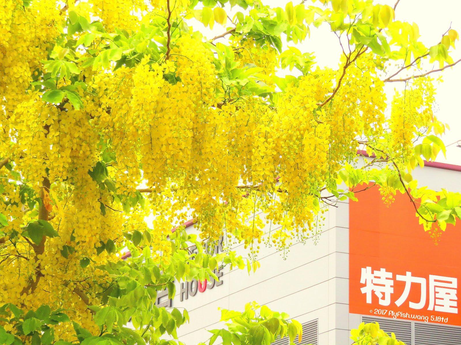 【台南仁德。春季阿勃勒/黃金雨獵影2017】05.18TDRF - 東門路三段182縣道 31°c