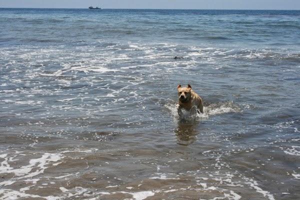 Labrador chasing tennis balls Hendry's Beach