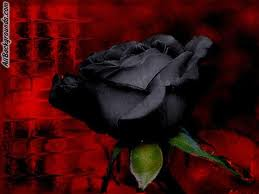 Black red rose