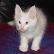 Turkish Angora. Kucing ni sebenarnya boleh diiktiraf sebagai Royal Cat sebab .