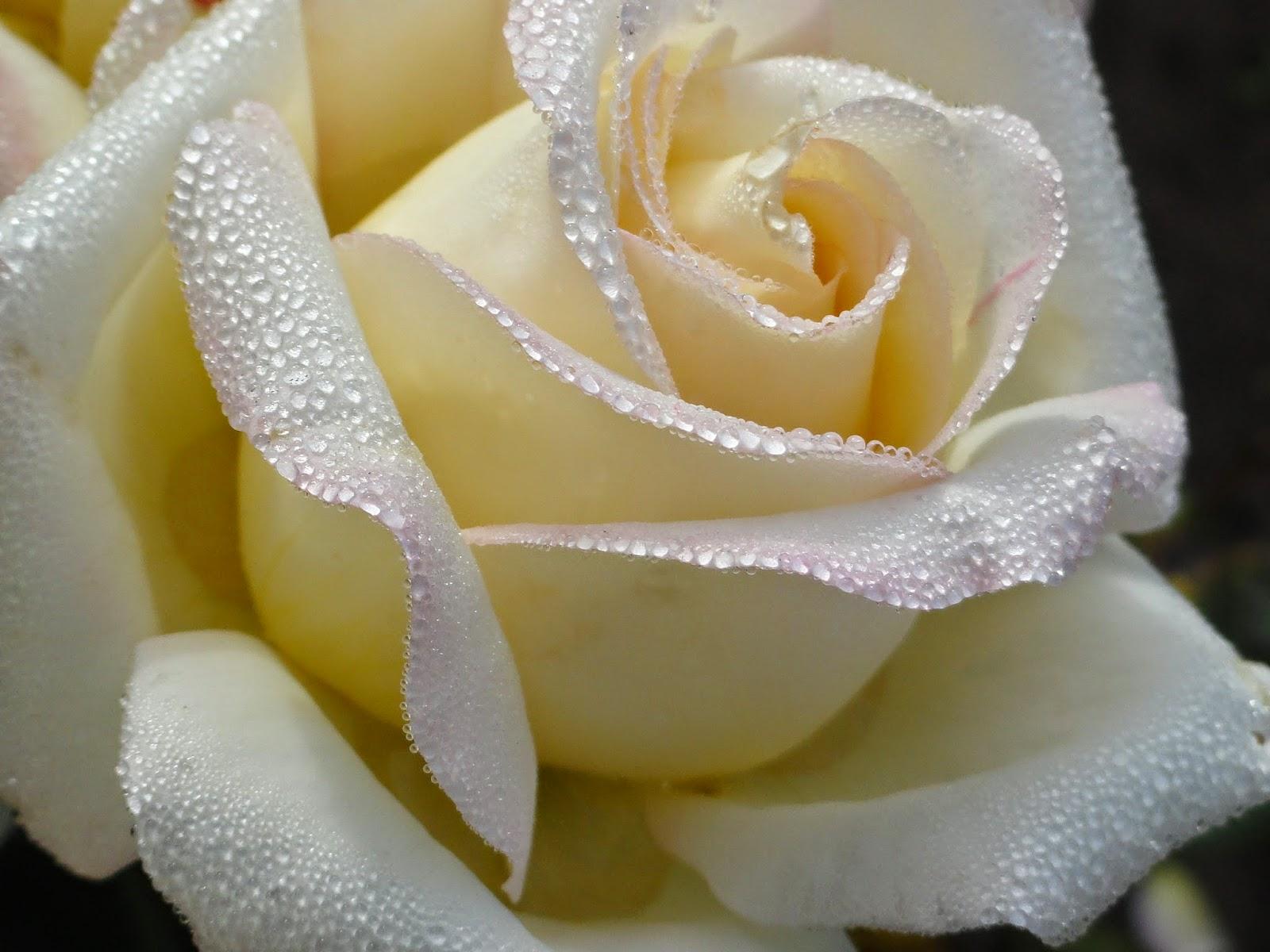 Фото цветы розовые розы