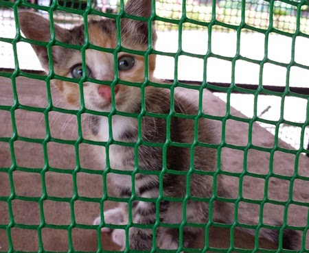 Pencuri kucing, pengkasian kucing, pengembirian, pemandulan kucing untuk kurangkan pembuangan kucing, kelebihan, manfaat, fungsi, kebaikan, tujuan pengkasian / pemandulan, hantar kucing ke klinik haiwan, veterinary, kucing mangsa dera