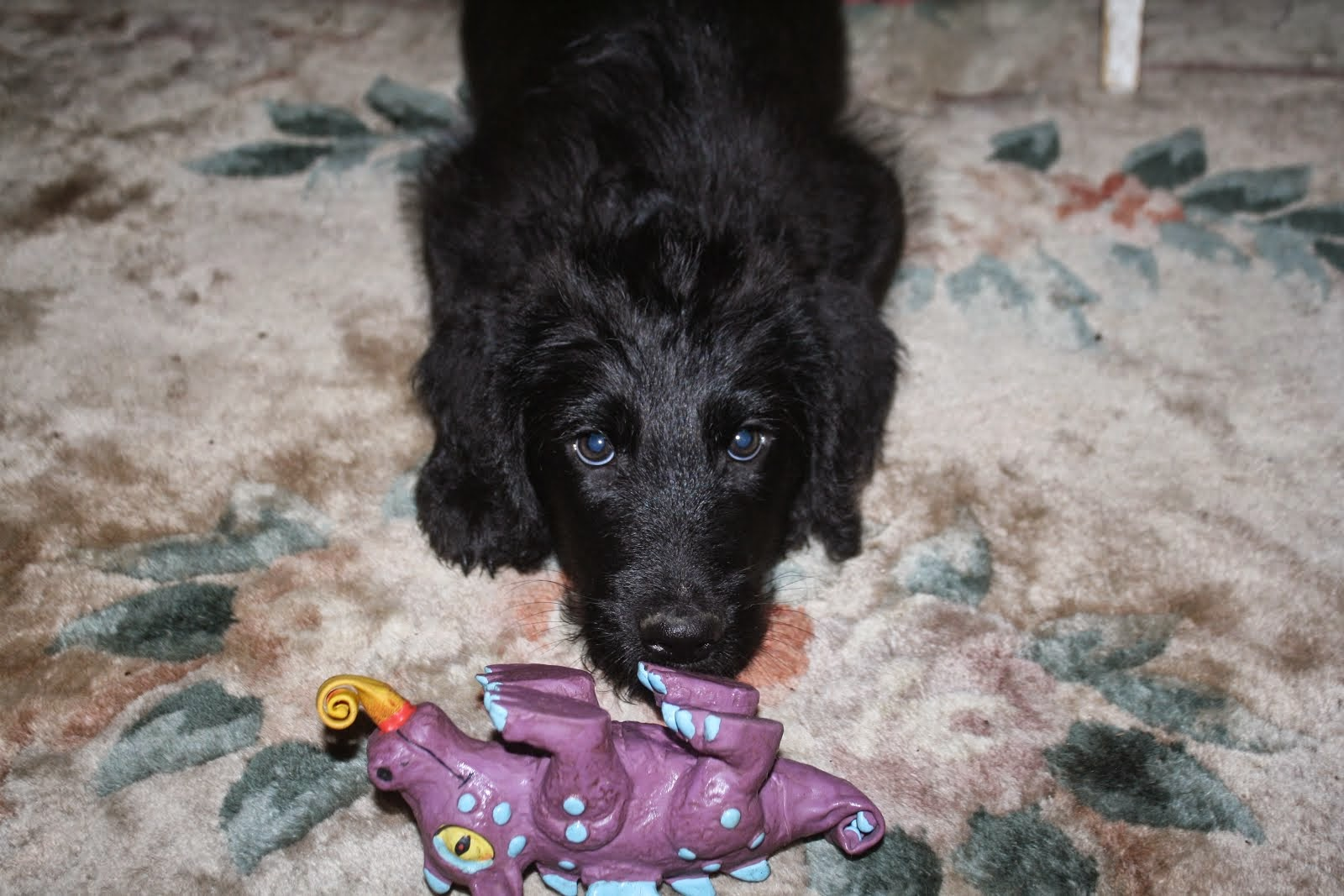 1st generation Male Doodle Available