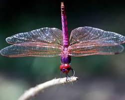 La libélula viene a despertarlos amados humanos, a ayudarlos a salir de la ilusión, a mostrar aquello que está oculto
