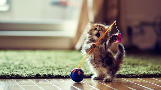 Cute little kitten playing cat hd wallpaper animal image photo