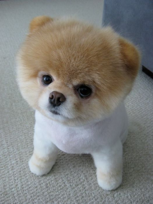 Unique Boo Is A Pomeranian Breed Dog But With Some Different Features That Makes Him A Lot Different From Other Pomeranian Breed Dogs Most People Are There Who Says That A Boo Is Just A Pom With A Different Hair Cut But Lets Face It A Boo