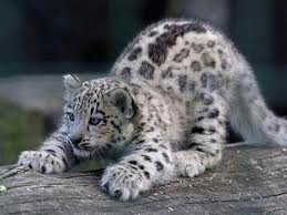 leopardo de las nieves - Panthera uncia