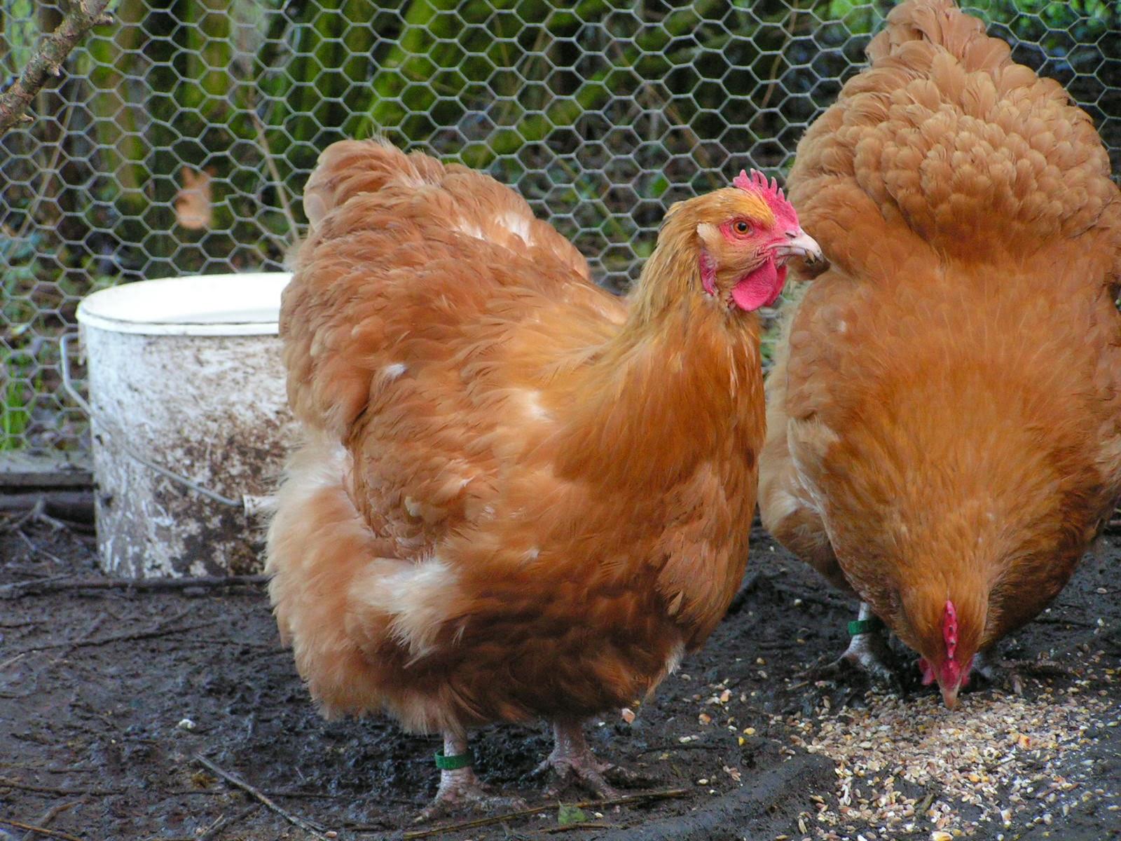 poules, Concise, exposition avicole 25 et 26 janvier 2014