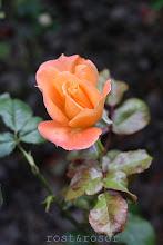 höstens sista ros