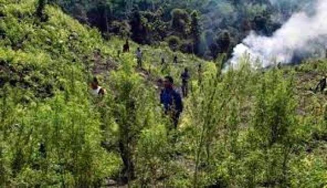 Ditemukan, Ada 1 Hektare Ladang Ganja di Simalungun Horas Sumut News - Simalungun News - BERITA SIMALUNGUN TERKINI