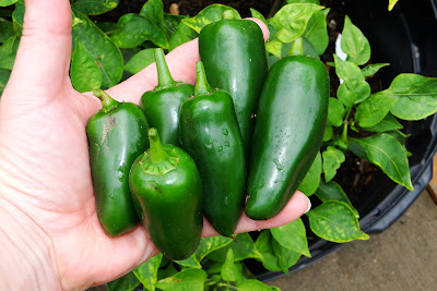 Hot Big Guy Peppers at Alejandro Farm