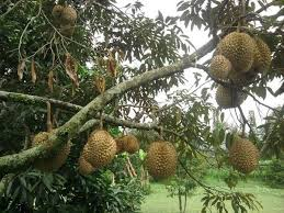 bibit durian petruk