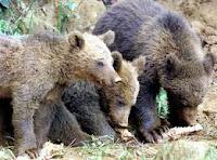 un oso animal omnivoro
