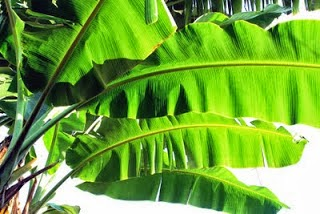 Permalink to Banana Leaf Health Benefits