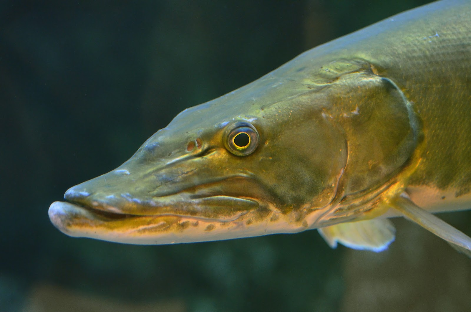 Virginia fishes new muskellunge esox masquinongy for Muskie fish teeth
