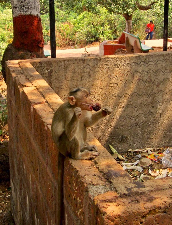 Monkey licking an ice gola