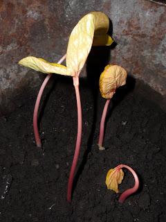 11 марта, ростки клещевины