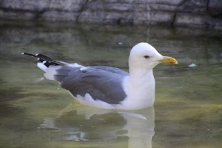 Black‐tailed gull