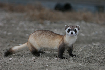 TheJungleStore.com blog - black footed ferret