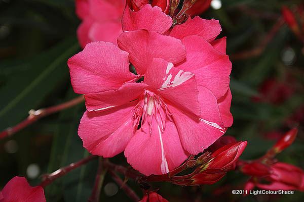 Pink Oleander flower close-up