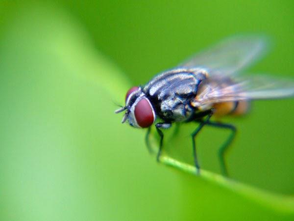 keajaiban lalat