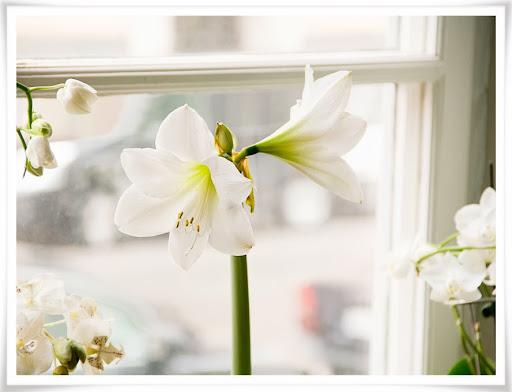 Amaryllis omgiven av orkideer