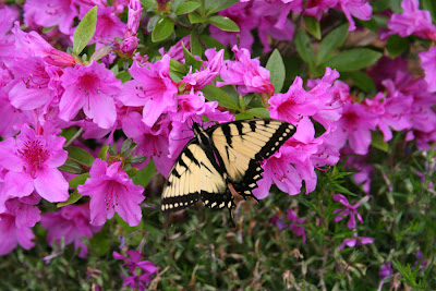 azalea and butterfly picture