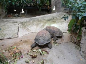 Aldabra Tortoise from Seychelles.