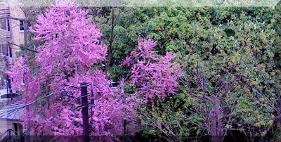Parktaki erguvan ağacı