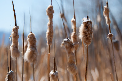 Cattails in South Platte Park