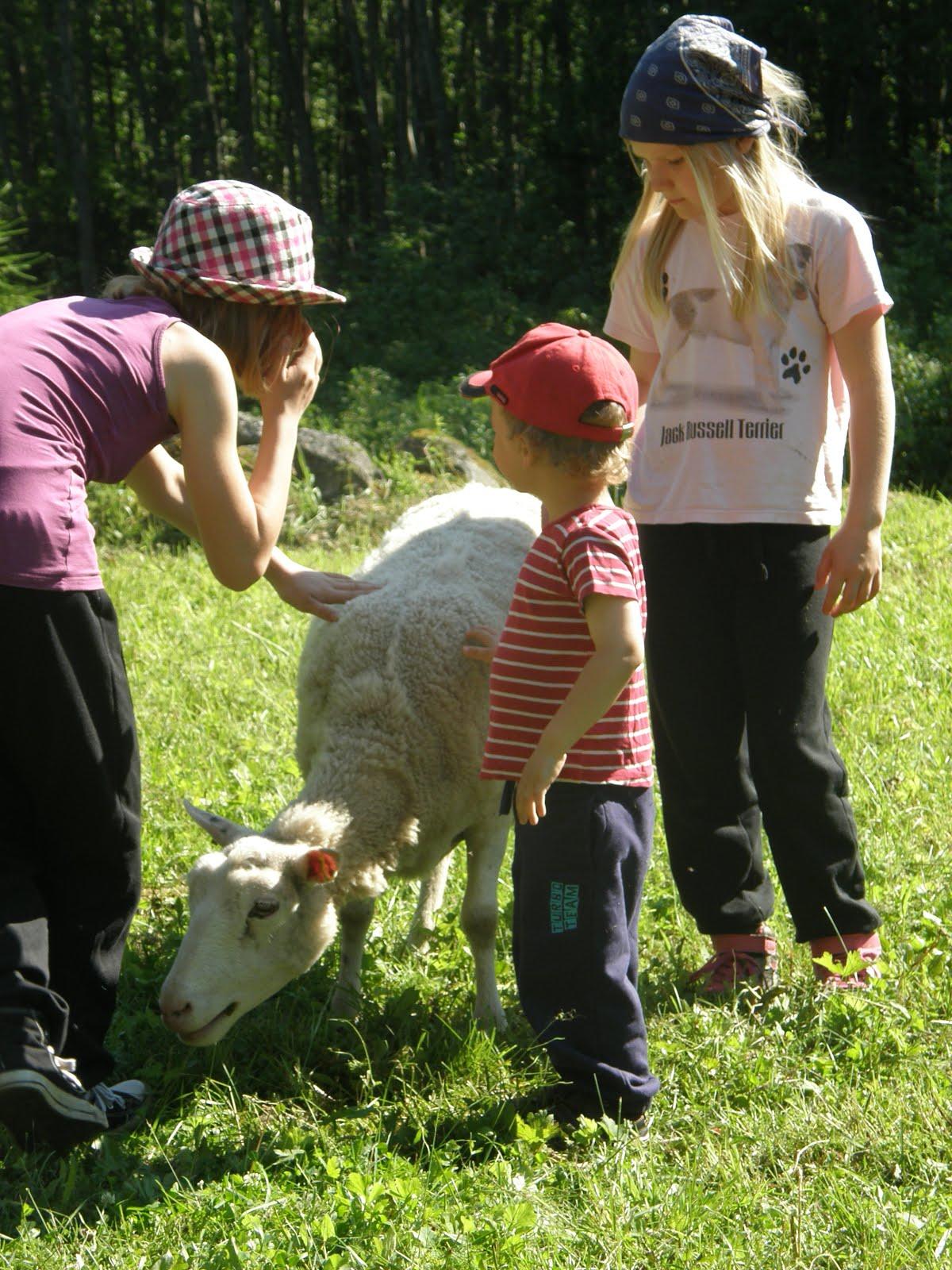 Paimensaarella lampaita kaitsemassa