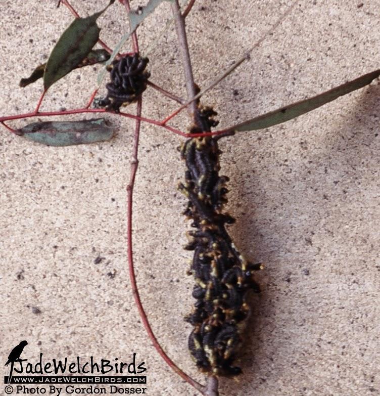 spitfire grubs sawfly larvae gang gang cockatoo jadewelchbirds jade welch birds