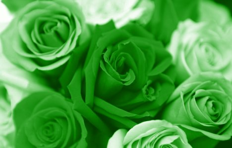 Green rose flowers flowers for Green colour rose images