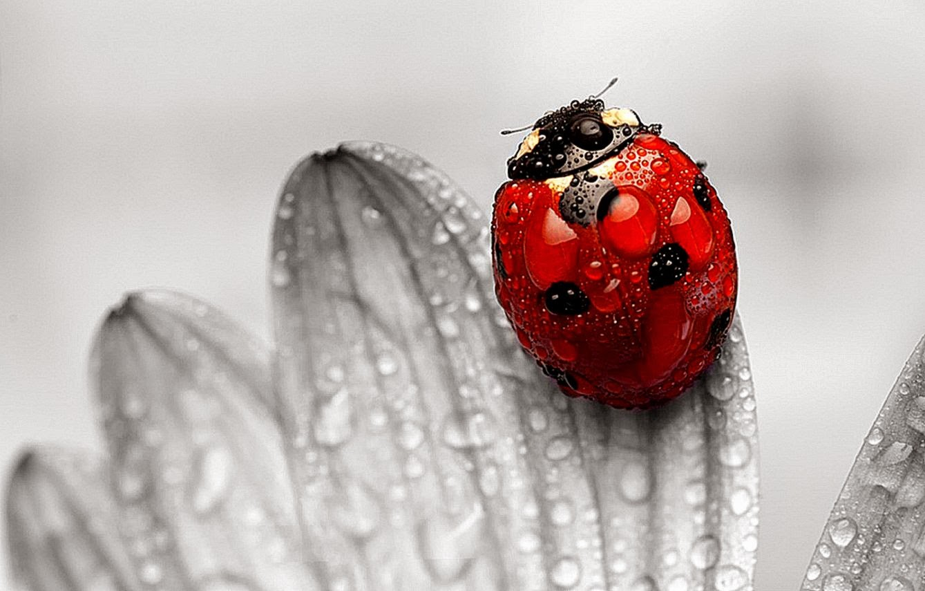 insects ladybirds desktop wallpapers - photo #36