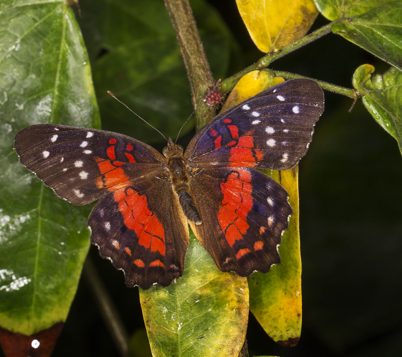 Scarlet Peacock, Anartia amathea.  Wisley Gardens, Butterflies in the Glasshouse, 10 February 2015.