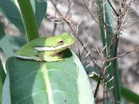 treefrog on milkweed plant