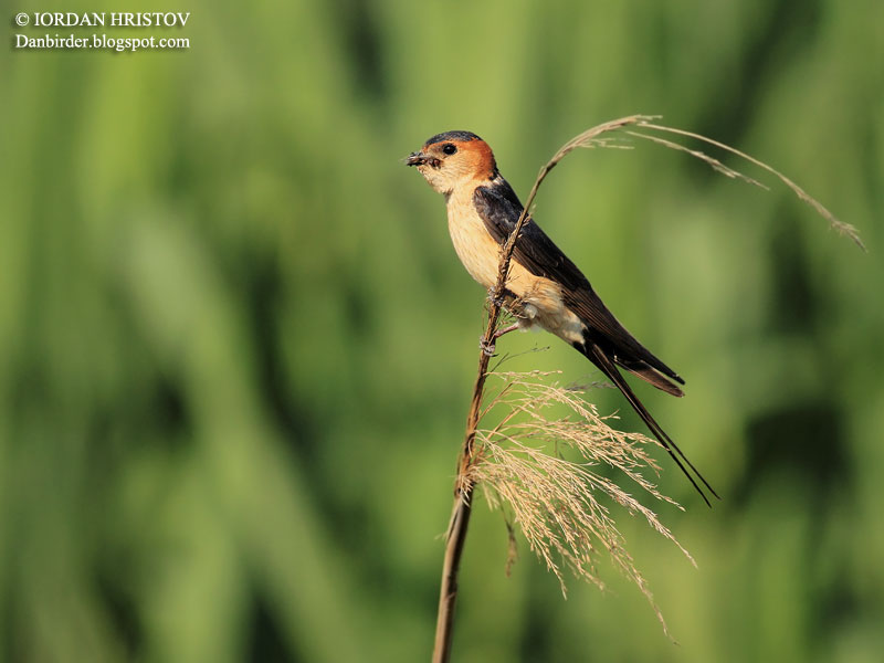 Red-rumped Swallow photography