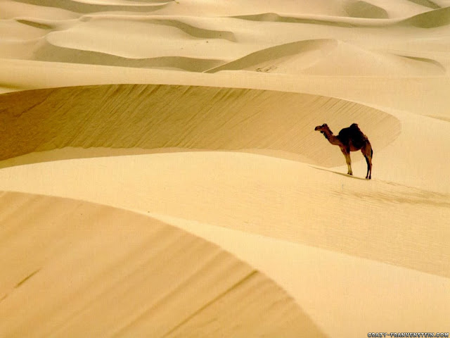 camel in desert wallpaper