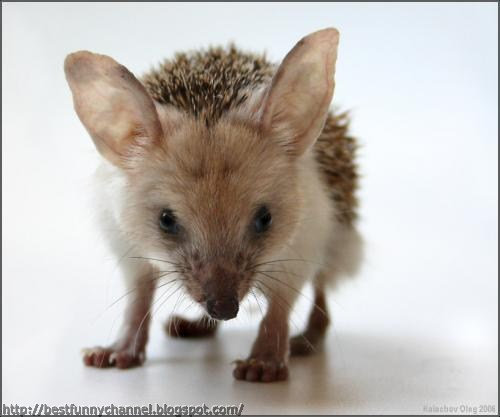 Funny hedgehog 2