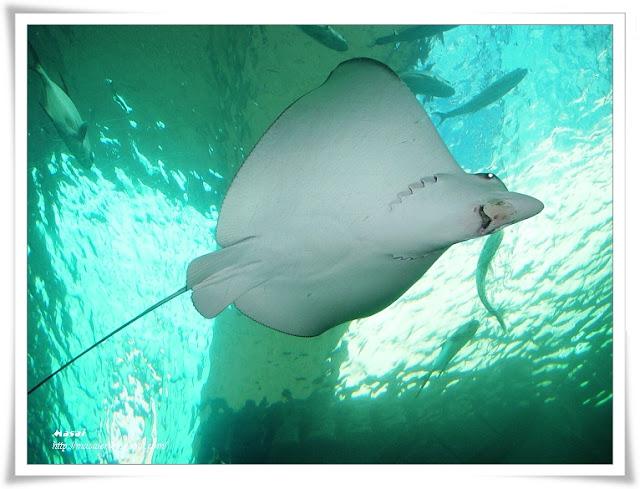 澎湖水族館-海底隧道-魟魚