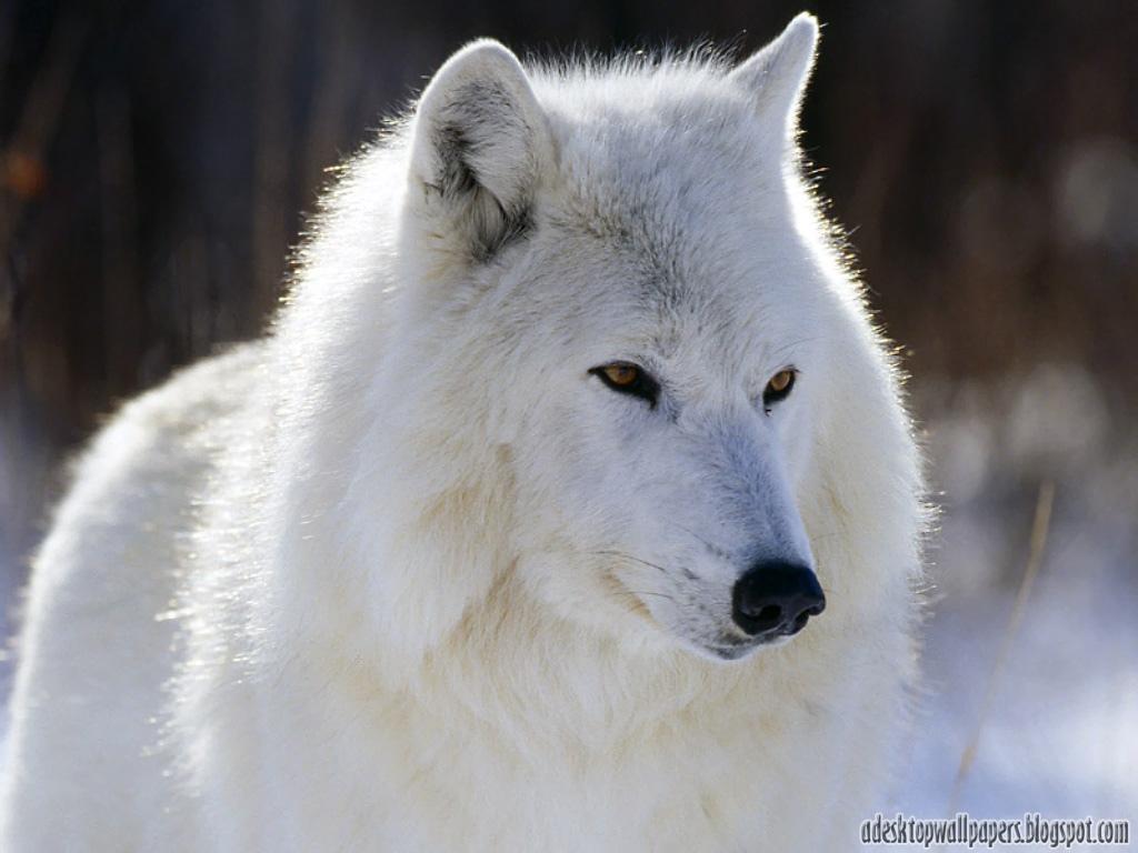 Must see   Wallpaper Horse Wolf - Free-Wolf-Animal-Desktop-Wallpapers-02  Pic_804316.jpg